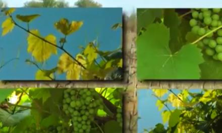 Лозарството и биологичното винопроизводство – мястото им е в България