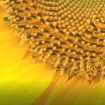 """Биомасите от пшеница и слънчоглед като източник на енергия, представи ИАИ на Конференцията""""100 г. аграрно образование"""""""